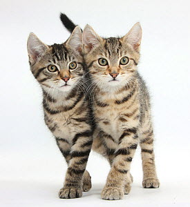 Tabby kittens, Stanley and Fosset, 12 weeks, walking together in unison. - Mark Taylor