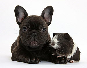 Dark brindle French Bulldog puppy, Bacchus, 9 weeks, with Guinea pig. NOT AVAILABLE FOR BOOK USE  -  Mark Taylor