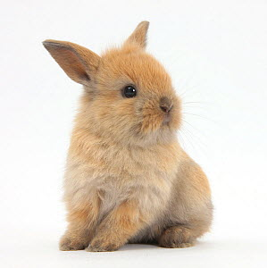 RF- Baby Lionhead Lop cross rabbit. (This image may be licensed either as rights managed or royalty free.)  -  Mark Taylor