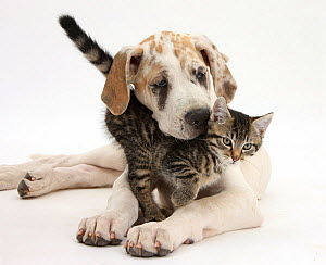 Tabby kitten, Fosset, 10 weeks, with Great Dane puppy, Tia, 14 weeks. NOT AVAILABLE FOR BOOK USE  -  Mark Taylor
