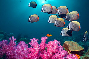 Collared or Redtail butterflyfish (Chaetodon collare) swimming over coral reef with soft corals. Andaman Sea, Thailand. (Digital composite).  -  Georgette Douwma