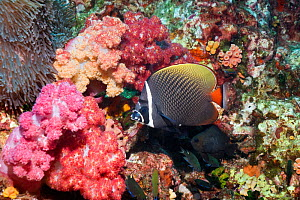Redtail or Collared butterflyfish (Chaetodon collare) Andaman Sea, Thailand.  -  Georgette Douwma