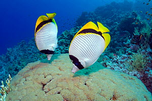 Lined butterflyfish (Chaetodon lineolatus), pair feeding on Bubble coral (Plerogyra sinuosa). Egypt, Red Sea. - Georgette Douwma