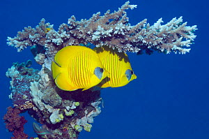 Masked butterflyfish (Chaetodon semilarvatus) with acropora coral. Egypt, Red Sea. Red Sea endemic.  -  Georgette Douwma
