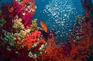 Coral reef scenery with a Coral hind (Cephalopholis miniata), soft corals (Dendronephthya sp) and Pygmy sweepers (Parapriacanthus guentheri). Egypt, Red Sea.  -  Georgette Douwma