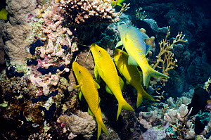 Yellowsaddle goatfish (Parupeneus cyclostomus) gang hunting over coral reef. Egypt, Red Sea.  -  Georgette Douwma