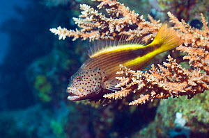 Freckled hawkfish (Paracirrhites forsteri) perched on branchin acropora coral. Egypt, Red Sea.  -  Georgette Douwma