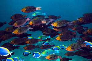 Greenthroat or Singapore parrotfish (Scarus prasiognathus) large school of females with some terminal males and Powderblue surgeonfish (Acanthurus leucosternon) swimming over coral reef. Andaman Sea,...  -  Georgette Douwma