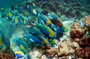 Greenthroat or Singapore parrotfish (Scarus prasiognathus), large school of terminal males with some females swimming over coral reef. Andaman Sea, Thailand.  -  Georgette Douwma