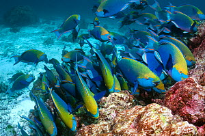 Greenthroat or Singapore parrotfish (Scarus prasiognathus), large school of terminal males grazing on algae covered coral rock. Andaman Sea, Thailand.  -  Georgette Douwma