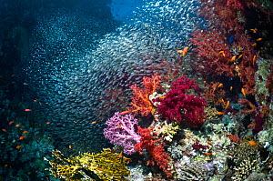 Coral reef scenery with soft corals (Dendronephthya sp) and dense shoal of Pygmy sweepers (Parapriacanthus guentheri). Egypt, Red Sea. - Georgette Douwma