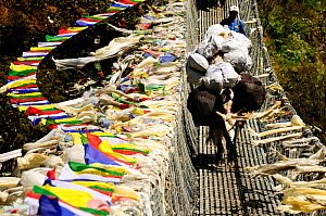 A domestic yak on a suspension bridge over the Dudh Kosi river, with prayer flags on either side, Sagarmatha National Park (World Heritage UNESCO). Khumbu / Everest Region, Nepal, Himalaya, October 20... - Enrique Lopez-Tapia