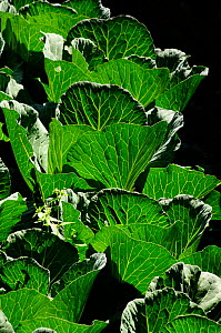 Cabbage leaves in vegetable plot in the valley of the Dudh Kosi, Jorsale village, Sagarmatha National Park (World Heritage UNESCO). Khumbu / Everest Region, Nepal, Himalaya, October 2011.  -  Enrique Lopez-Tapia