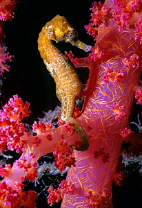 Thorny seahorse (Hippocampus Histrix) on Alcyonarian coral (Dendronephthya sp) Eilat, Israel, Red Sea - Jeff Rotman