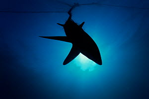 Common Thresher Shark (Alopias vulpinus) silhouette of one caught in gill net, Huatabampo, Mexico, Sea of Cortez, Pacific Ocean  -  Jeff Rotman