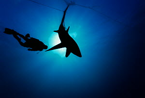 Common Thresher Shark (Alopias vulpinus) silhouette of one caught in gill net with diver approaching, Huatabampo, Mexico, Sea of Cortez, Pacific Ocean. Model released. May 2008. Model released. - Jeff Rotman