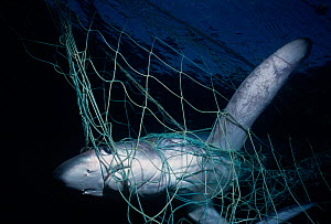 Common Thresher Shark (Alopias vulpinus) caught in gill net, Huatabampo, Mexico, Sea of Cortez, Pacific Ocean  -  Jeff Rotman