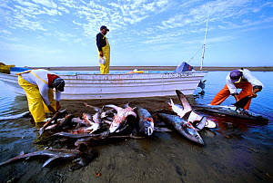 Common Thresher Sharks (Alopias vulpinus) dead animals being cleaned by gill net fishermen on shore, Huatabampo, Mexico, Sea of Cortez, Pacific Ocean Model released.  -  Jeff Rotman