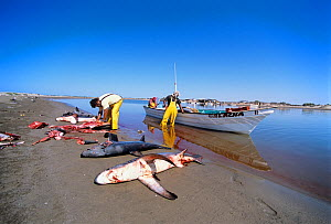 Common Thresher Sharks (Alopias vulpinus) dead animals being cleaned by gill net fishermen on shore, Huatabampo, Mexico, Sea of Cortez, Pacific Ocean. Model released. May 2008. Model released.  -  Jeff Rotman