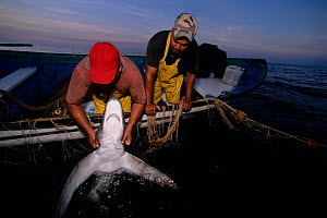 Common Thresher Shark (Alopias vulpinus) caught on gill net being hauled up onto boat, Huatabampo, Mexico, Sea of Cortez, Pacific Ocean Model released.  -  Jeff Rotman