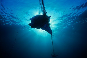 Manta Ray (Manta birostris) caught in gill net, silhouetted against sunlight, Huatabampo, Mexico, Sea of Cortez, Pacific Ocean - Jeff Rotman