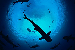 Whitetip reef sharks (Triaenodon obesus) pack silhouetted following scent trail in water column, Cocos Island, Costa Rica, Pacific Ocean. Model released. May 2009.  -  Jeff Rotman