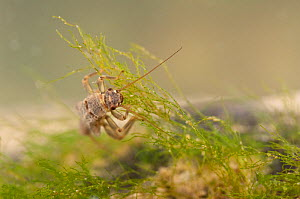 Stonefly nymph (Plecoptera), grazing algae, Europe, April, controlled conditions  -  Jan Hamrsky