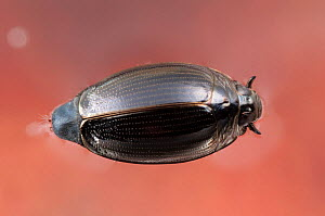 Whirligig beetle (Gyrinidae) swimming on the water surface, Europe, June, controlled conditions  -  Jan Hamrsky