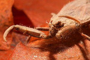 Water scorpion (Nepa cinerea) head and raptorial legs detail, Europe, May, controlled conditions  -  Jan Hamrsky