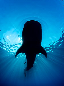 Whale shark (Rhincodon typus) silhouette, feeding on floating fish eggs (not visible) just below the surface in calm weather. Note the bow wave ahead of the shark. Isla Mujeres, Quintana Roo, Yucatan... - Alex Mustard