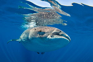 RF- Whale shark (Rhincodon typus) at the surface, Isla Mujeres, Quintana Roo, Yucatan Peninsular, Mexico, Caribbean Sea. Vulnerable species. (This image may be licensed either as rights managed or roy...  -  Alex Mustard