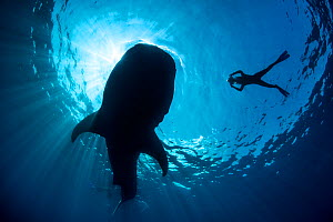 Whale shark (Rhincodon typus) silhouette of shark feeding on floating fish eggs (not visible) just below the surface in calm weather, with snorkeller taking photos nearby, Isla Mujeres, Quintana Roo,... - Alex Mustard