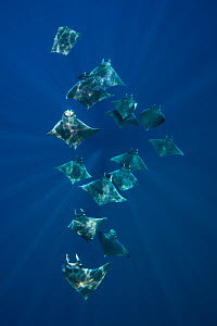 A school of lesser devil rays (Mobula hypostoma) flying through sunbeams as they feed. Isla Mujeres, Quintana Roo, Yucatan Peninsula, Mexico. Caribbean Sea. - Alex Mustard