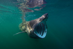 Basking shark (Cetorhinus maximus) feeding at the surface on plankton, Cairns Of Coll, Isle of Coll, Inner Hebrides, Scotland, UK, North East Atlantic Ocean, June  -  Alex Mustard