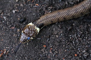 Grass snake (Natrix natrix) about to slough its skin, Dorset, UK May  -  Colin Varndell