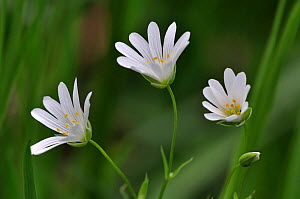 Greater stitchwort (Stellaria holostea) flowers in country hedgebank, Dorset, UK May  -  Colin Varndell