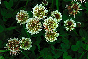 White clover flowers (Trifolium sp) Dorset, UK June  -  Colin Varndell