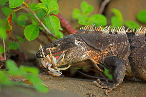 Black tailed spiny iguana ( Ctenosaura similis) swallowing crab, Murcielago Island, Santa Rosa National Park, Costa Rica. Sequence 1 of 6  -  John Cancalosi