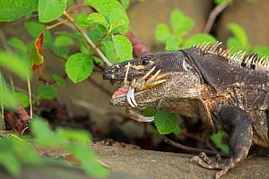 Black tailed spiny iguana ( Ctenosaura similis) swallowing crab, Murcielago Island, Santa Rosa National Park, Costa Rica. Sequence 2 of 6  -  John Cancalosi