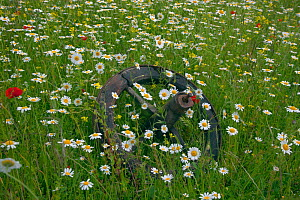 Corn Chamomile (Anthemis arvensis) in flower surrounding a discarded old farm implement wheel, Norfolk, UK, June - Ernie Janes