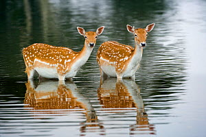 Fallow deer (Cervus dama) two female does bathing in lake, Norfolk, UK July - Ernie Janes