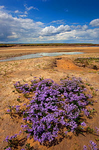 Sea lavender (Limonium vulgare) Wareham Marshes, Norfolk, UK July - Ernie Janes
