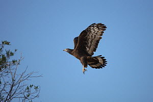 Oriental / Crested honey buzzard (Pernis ptilorhynchus) adult in flight, about to land, Oman, January - Hanne & Jens Eriksen
