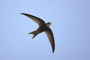 Forbes watson's swift (Apus berliozi) in flight, Oman, May  -  Hanne & Jens Eriksen