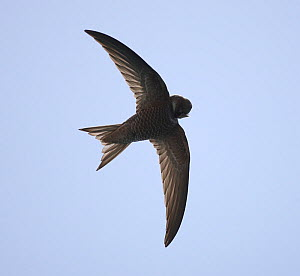 Forbes watson's swift (Apus berliozi) preening, in flight, Oman, May  -  Hanne & Jens Eriksen