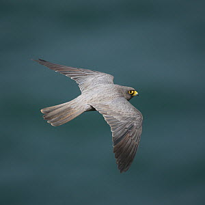 Sooty falcon (Falco concolor) in flight, Oman, August  -  Hanne & Jens Eriksen