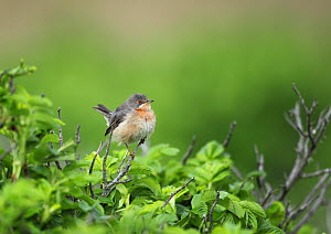 Subalpine warbler (Sylvia cantillans) male perched, Denmark, May - Hanne & Jens Eriksen
