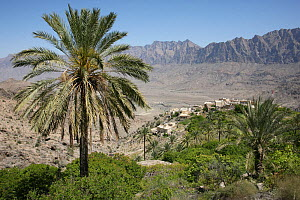 Wukan, Date Palm and mountain village, Ghubrah Bowl, Jebel Al Akhdar, Oman, March  -  Hanne & Jens Eriksen