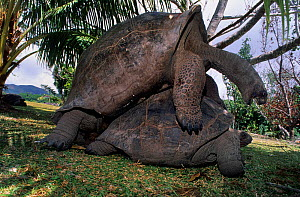 Aldabra giant tortoise (Geochelone gigantea) pair mating, Curieuse Marine National Park, Seychelles, Indian Ocean - Loic Poidevin
