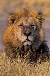 African lion (Panthera leo) old male with battle wounds, Sergenti National Park, Tanzania, East Africa  -  Loic Poidevin